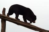 Malayan Sun Bear 31