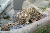 Snow Leopard Eating 03