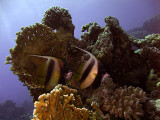 Pair of Red Sea Bannerfish and Fire Coral - Heniochus Intermedius