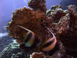 Pair of Red Sea Bannerfish and Fire Coral - Heniochus Intermedius 02