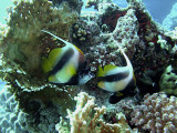 Pair of Red Sea Bannerfish and Fire Coral - Heniochus Intermedius 03