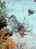Common Lionfish from side - Pterois Volitans
