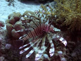 Common Lionfish from side - Pterois Volitans 02