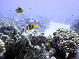Two Two-Banded Anemonefish