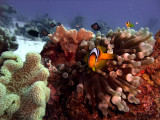 Two-Banded Anemonefish in Anemone  - Amphiprion Bicinctus