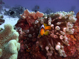 Two-Banded Anemonefish in Anemone  - Amphiprion Bicinctus 02