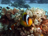 Two-Banded Anemonefish in Anemone  - Amphiprion Bicinctus 03