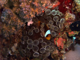 Two-Banded Anemonefish in Anemone  - Amphiprion Bicinctus 04