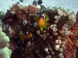 Two-Banded Anemonefish in Anemone  - Amphiprion Bicinctus Entacmaea Quadricolor