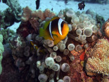 Two-Banded Anemonefish in Anemone  - Amphiprion Bicinctus Entacmaea Quadricolor 02