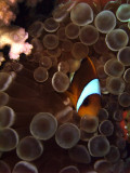 Two-Banded Anemonefish in Anemone  - Amphiprion Bicinctus Entacmaea Quadricolor 03