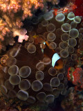 Two-Banded Anemonefish in Anemone  - Amphiprion Bicinctus Entacmaea Quadricolor 04