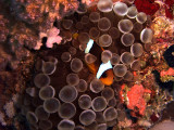 Two-Banded Anemonefish in Anemone  - Amphiprion Bicinctus Entacmaea Quadricolor 05