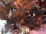 Two-Banded Anemonefish in Anemone and Humbug Damselfish in Hard Coral 02