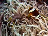 Two-Banded Anemonefish in Corkscrew Anemone -Amphiprion Bicinctus Macrodactyla Doreensis
