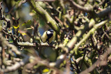 Great Tit on Branches - Parus Major