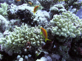 Anthias and Damsel Fish Around Coral