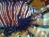 Lion Fish From Side