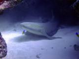 Roused Nurse Shark with Large Ramora on Side