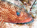 Coral Groupers Head 2