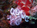 Feather Duster Worms at Two Step