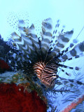 Hunting Lionfish 1