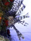 Hunting Lionfish 2