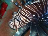 Hunting Lionfish 3