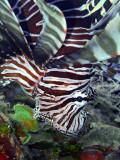 Hunting Lionfish 4