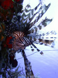Hunting Lionfish 5