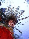 Hunting Lionfish 6