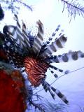 Hunting Lionfish 7