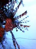 Hunting Lionfish 8