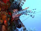 Hunting Lionfish 9