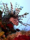 Hunting Lionfish 11