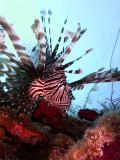 Hunting Lionfish 12