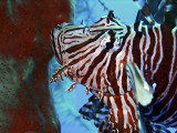 Lionfish Head Close Up