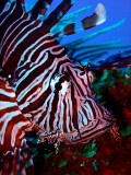 Lionfish Head Close Up 2