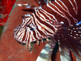 Lionfish Head Close Up 3