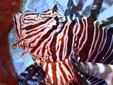 Lionfish Head Close Up 4