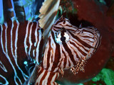 Lionfish Head Close Up 5