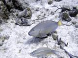 Parrotfish Pair