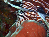 Shy Lionfish at Two Step