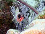 Squirrelfish From the Front