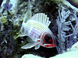 Squirrelfish with Worm in Background