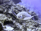 Leatherback Turtle Swimming Along Wall