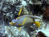 Queen Angelfish and Cleaner Wrasse