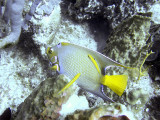 Queen Angelfish and Cleaner Wrasse 2