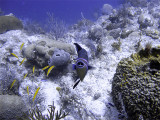 Queen Triggerfish from Front with Cleaner Wrasse