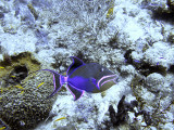 Queen Triggerfish with Cleaner Wrasse